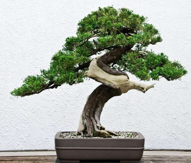 bonsai mang lại nhiều may mắn cho gia chủ